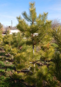 pine trees for sale utah, Austrian Pine