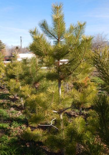 pine trees for sale utah, Austrian Pine