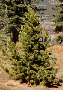 best shade trees for Utah, Bristlecone Pine