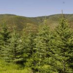 buy mature trees Utah, McIntyre Collection