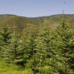 buy mature trees Utah, McIntyre Collection