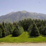 Large Trees for Sale Utah