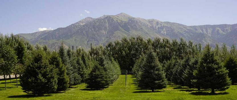 Large Trees for Sale Utah | Willowcreek Tree Farms | Privacy