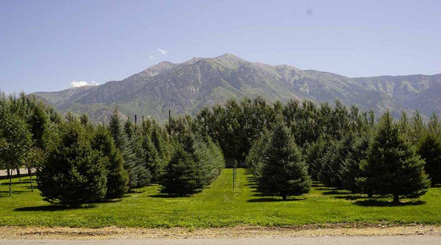 Large Trees for Sale Utah