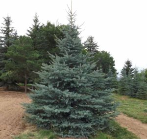 Where to buy large trees in Utah