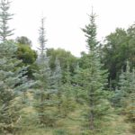 buy mature trees utah, Bennion Collection
