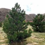 Mature Trees for Sale