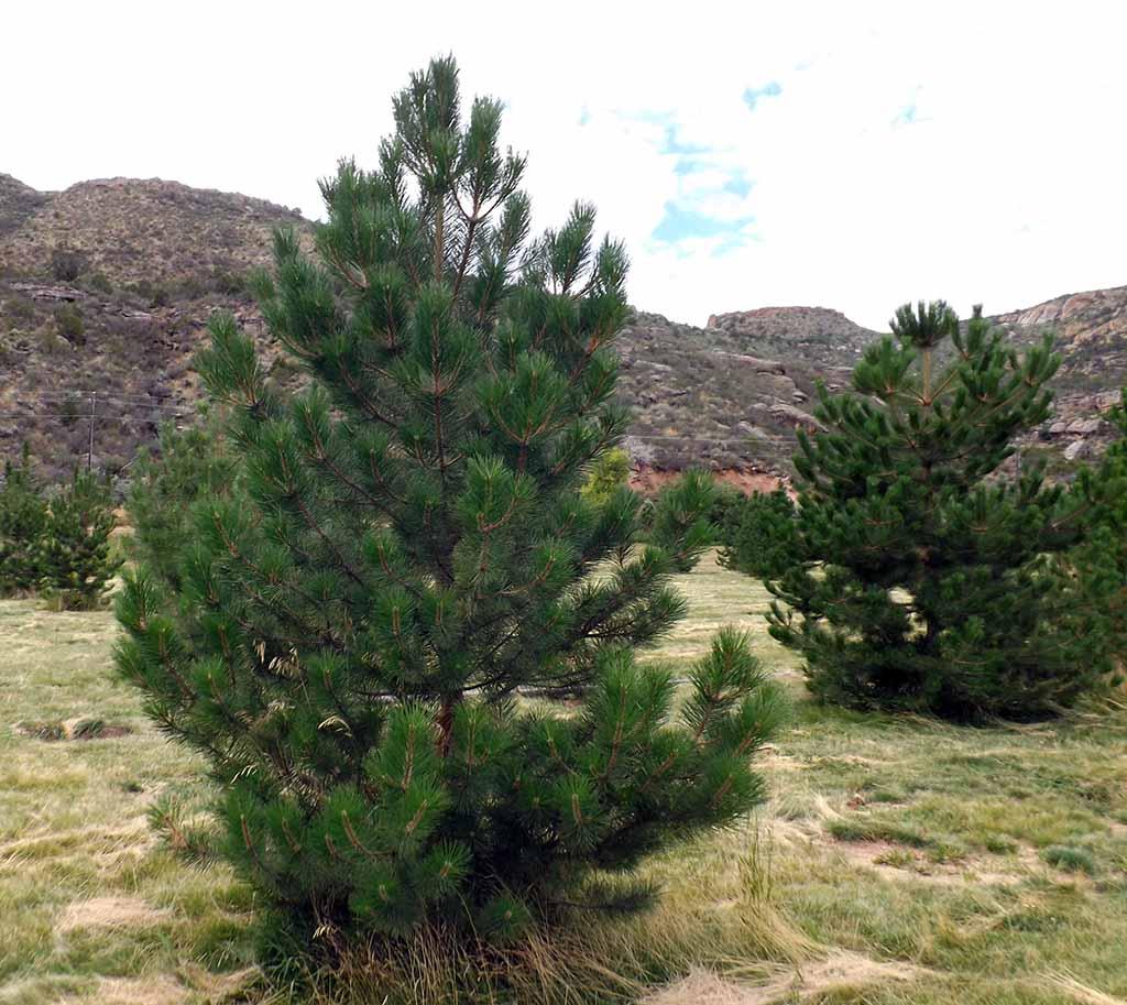 Mature trees for sale utah pine trees willowcreek tree for Mature pine trees