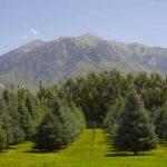 buy mature trees Utah, Nebo