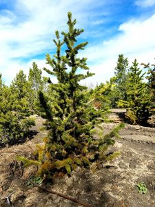 Bristlecone Pine, trees guaranteed to grow in northern utah