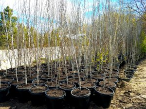 Northern Utah Trees and Transplanting Services