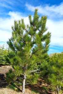 Austrian Pine, Buy Trees Utah