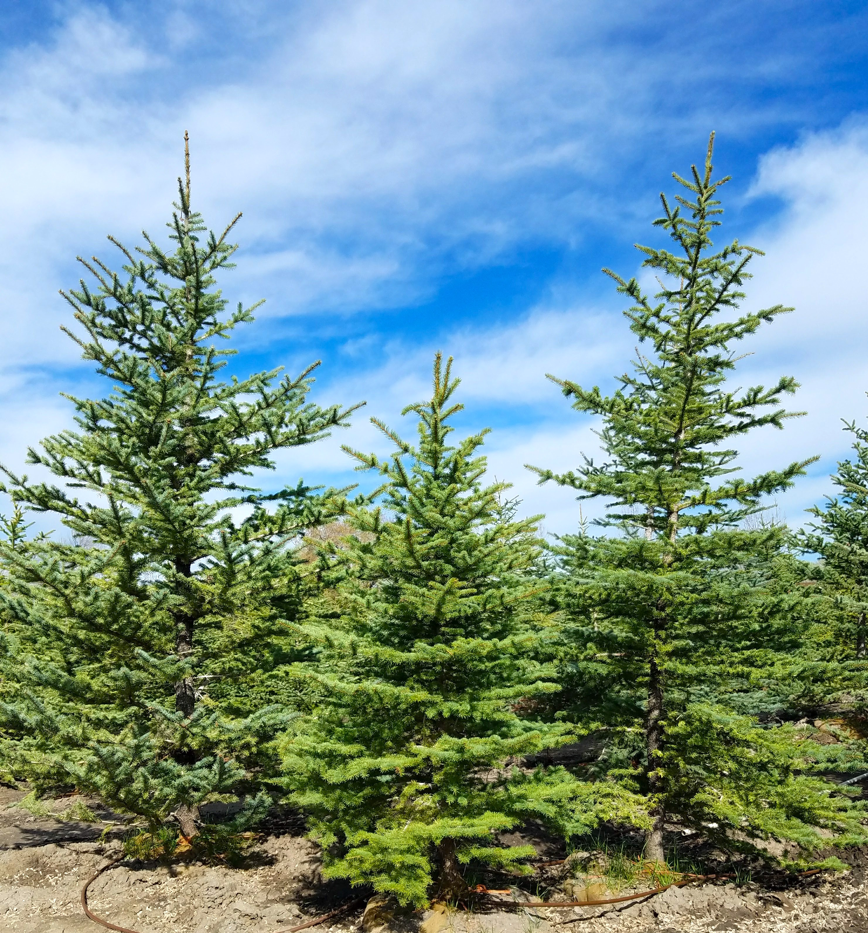 Pinyon Pine, Buy Trees Utah