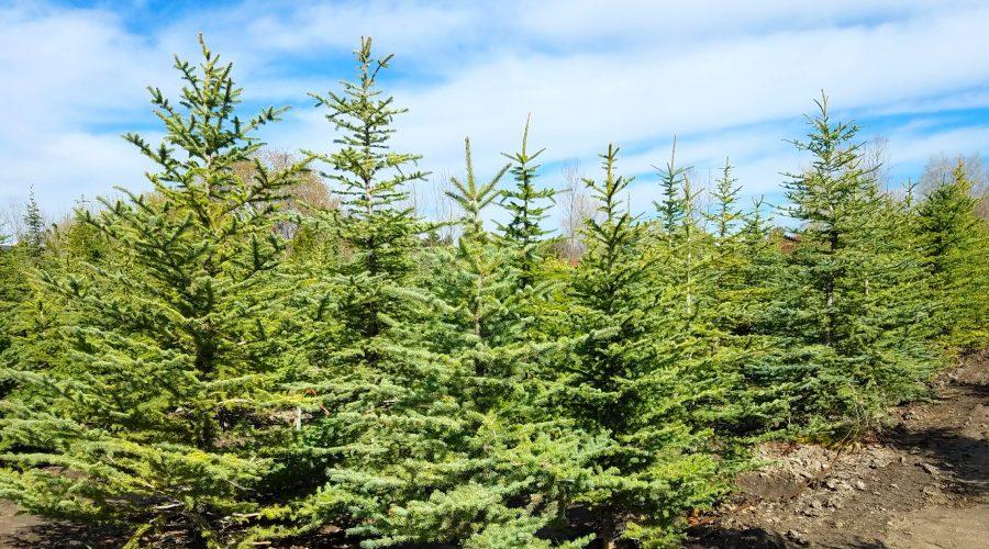 Large Tree Moving Utah