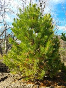 fast growing trees Utah, Full Austrian Pine