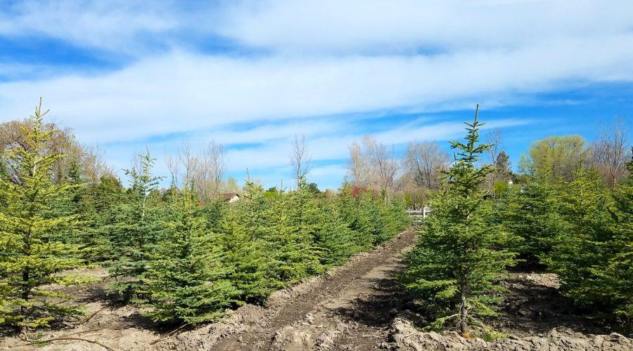 Christmas Tree Farms in Utah