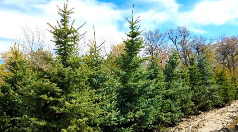 Large Tree Landscaping Utah