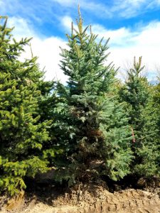 Colorado Blue Spruce, Buy Trees Utah