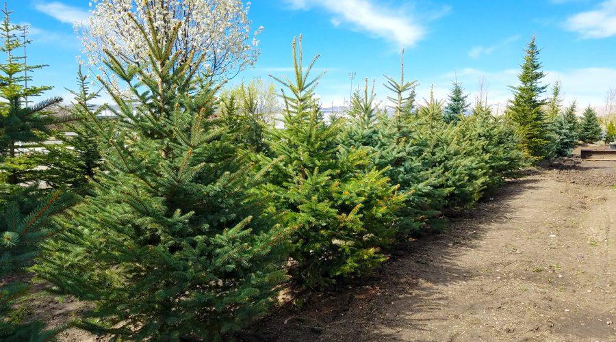 Austrian Pine for Sale
