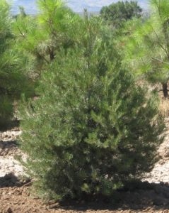 privacy trees Utah, pinyon pine