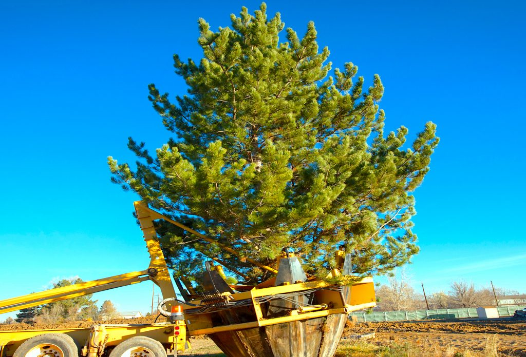 Pine Trees for Sale Utah