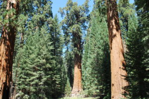 Large Trees for Sale
