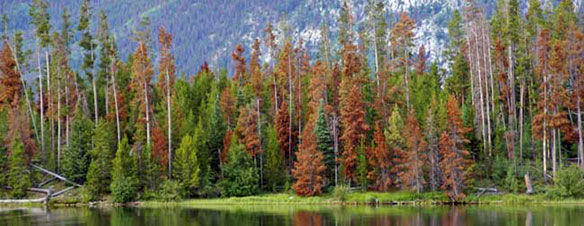 Pine Trees For Sale, Mountain Pine Beetle Damage
