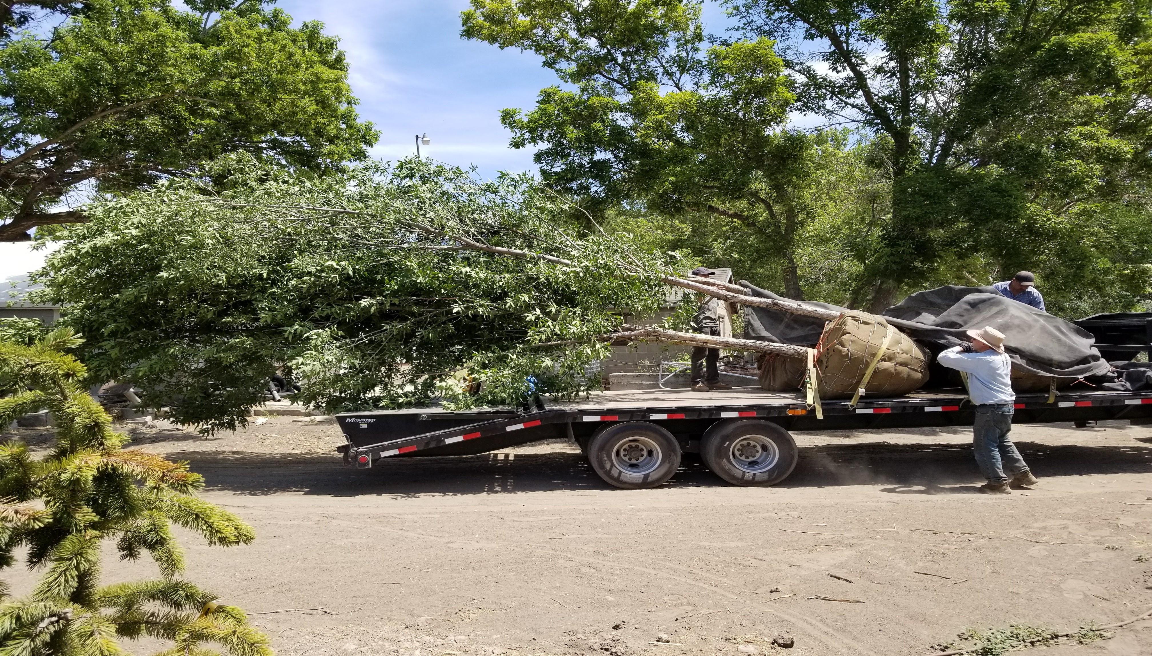 Utah Tree Transplanting Service   Large Trees For Sale in Utah