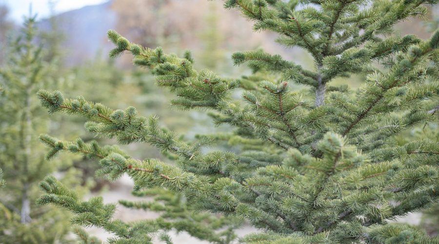 Pine Trees for Sale Utah