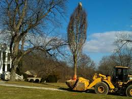 large tree moving pic 1